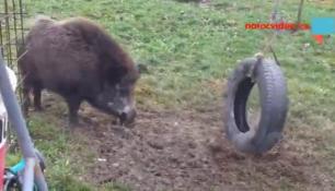 VIDEO DNE: Sárinka si pohraje nejdřív s pneu a pak trošinku zachrochtá