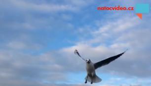 VIDEO DNE: Krmení racků pomaloučku a pěkně zblízka