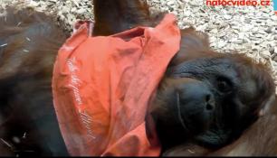 VIDEO DNE: Tak takhle vypadá opice po vopici :)